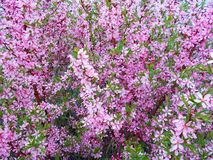 Blooming pink bush close up. Beautiful delicate floral background of pink flowers Royalty Free Stock Images