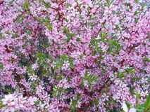 Blooming pink bush close up. Beautiful delicate floral background of pink flowers Stock Photos