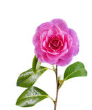 Blooming Pink Camellia Flower isolated on White Stock Photo