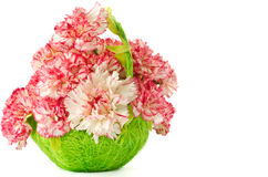 Blooming pink carnation Stock Photography