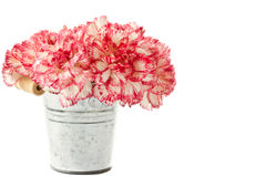 Blooming pink carnation Royalty Free Stock Photo