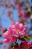 Blooming pink cherry blossom flower. Blooming stem in full spring pink of a cherry blossom tree stock photos