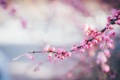 A blooming pink cherry blossom in spring royalty free stock images