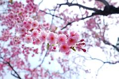 Blooming of pink cherry blossoms stock images