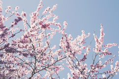 Blooming pink cherry with copy space on blue sky Stock Photography