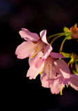 Blooming Pink Cherry Flowers Stock Images