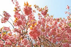 Blooming pink cherry tree in the park Royalty Free Stock Images