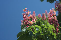 Blooming pink chestnut tree in Kiev Royalty Free Stock Photos