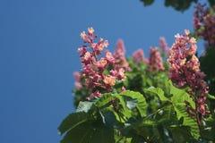 Blooming pink chestnut tree in Kiev. Ukrane Royalty Free Stock Photos