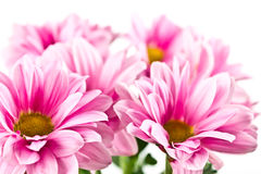 Blooming pink chrysanthemum Royalty Free Stock Photos