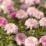 Blooming pink chrysanthemum in a sunny field. Funny fluffy pink chrysanthemums blooming in the summer sunny park stock images