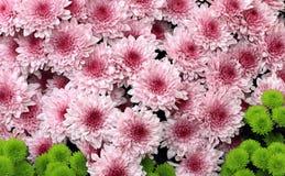 Blooming pink chrysanthemums Stock Photo