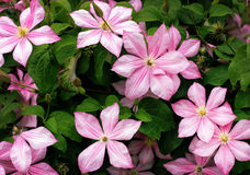 Blooming pink clematis on a background of green foliage Stock Image