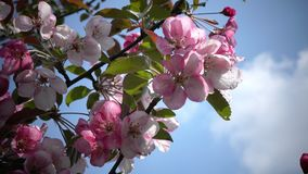 Blooming Pink Crab Apple Trees in the Spring Garden.  stock video