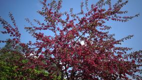 Blooming Pink Crab Apple Trees in the Spring Garden.  stock video footage