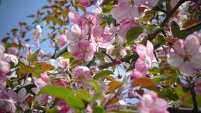 Blooming Pink Crab Apple Trees in the Spring Garden.  stock footage