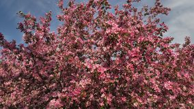 Pink Apple Trees Blossom in Spring Orchard stock video footage
