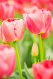 Blooming pink Dutch tulips, closeup Royalty Free Stock Image