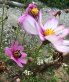 Blooming pink flower Royalty Free Stock Image