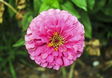 Blooming pink flower royalty free stock photos