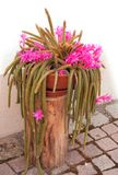 Blooming Pink Flower of Cactus in the street, near to the hause royalty free stock photos