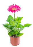 Blooming pink flower gerbera in flowerpot is isolated on white Royalty Free Stock Images