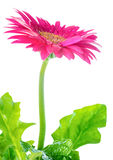 Blooming pink flower gerbera  is isolated on white background Stock Photos