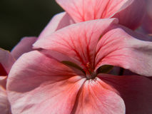 Blooming pink flower Royalty Free Stock Image