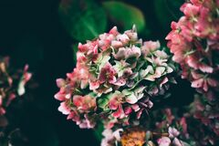 Blooming pink flowers Royalty Free Stock Photography