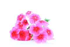 Blooming pink flowers Royalty Free Stock Photo