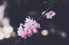 Blooming pink flowers with copy space on dark background Royalty Free Stock Photography