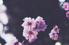 Blooming pink flowers with copy space on dark background. Blooming pink flowers with empty space on dark background Stock Photo
