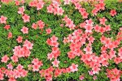 Blooming Pink Flowers. Grown in Japan Stock Photo