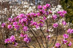 Blooming pink flowers rhododendron. Spring bloom in the park.  stock images