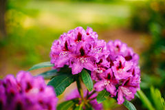 Blooming Pink Flowers of Rhododendron Royalty Free Stock Photo