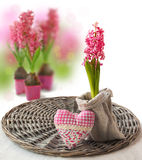 Blooming pink hyacinth  on a white background Royalty Free Stock Photo