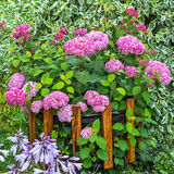 Blooming Pink Hydrangea Tree Varieties Stock Photo