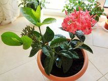 Amazing blooming pink ixora tropical evergreen shrub in pot royalty free stock photography