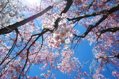 Blooming Pink Japanese Cherry Trees Royalty Free Stock Image