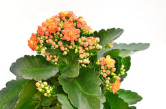 Blooming pink Kalanchoe Royalty Free Stock Photography