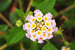 Blooming pink Lantana Stock Photography