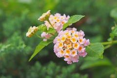 Blooming pink Lantana Stock Image