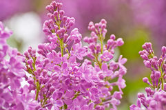 Blooming pink lilac flowers Stock Images