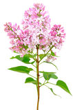 Blooming of pink lilac (Syringa). Isolated on white background Stock Photos