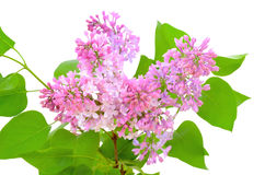 Blooming of pink lilac (Syringa). Isolated on white background Royalty Free Stock Image