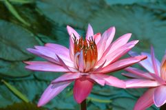 Blooming Pink Lilly Pad Royalty Free Stock Photo