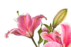 Blooming pink lily flower Stock Photography