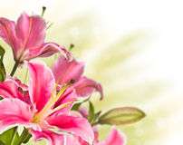 Free Blooming Pink Lily Flower Stock Image - 26722201