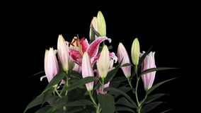 Blooming pink lily flower buds ALPHA matte, FULL HD. stock footage