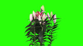 Blooming pink lily flower buds green screen, FULL HD stock footage